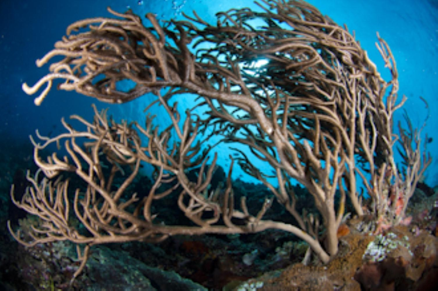Ropy sea fan