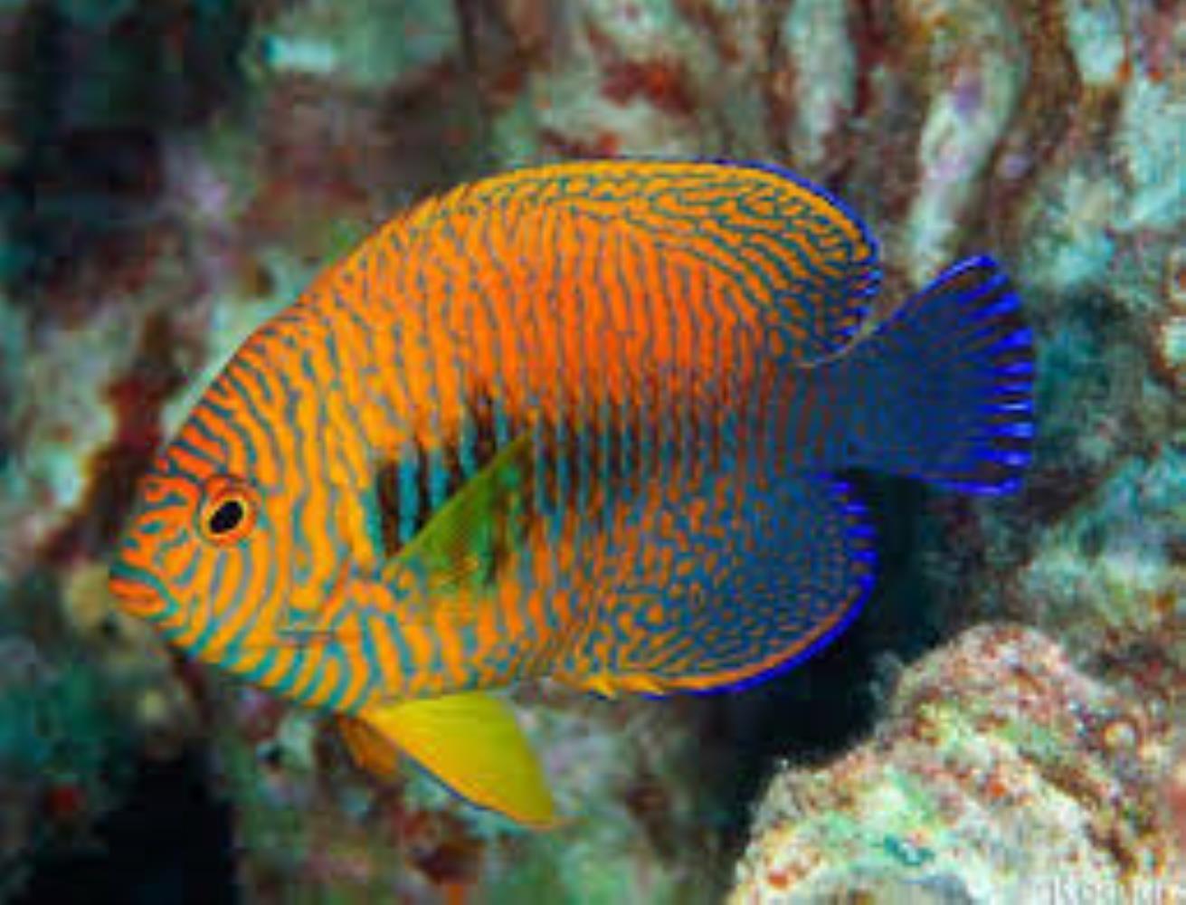 Russet Angelfish