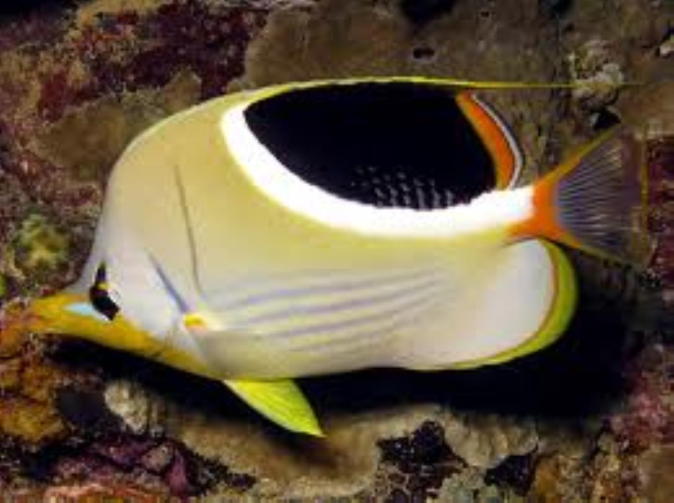 Saddle Butterflyfish