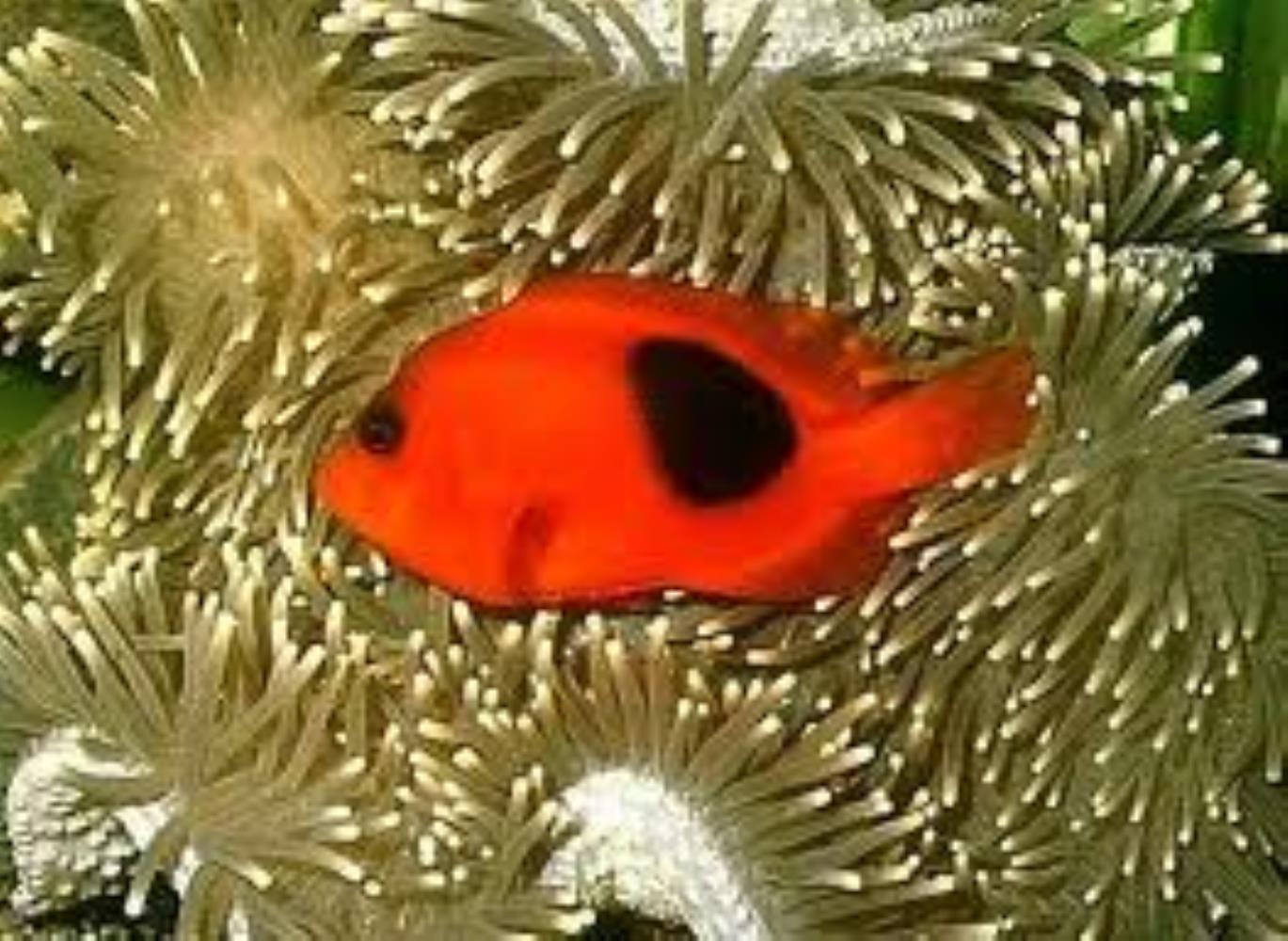 Saddle/ Red Saddleback Anemonefish