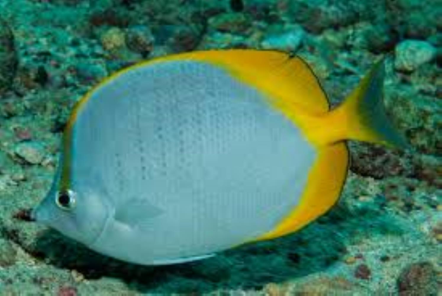 Saint Helena Butterflyfish