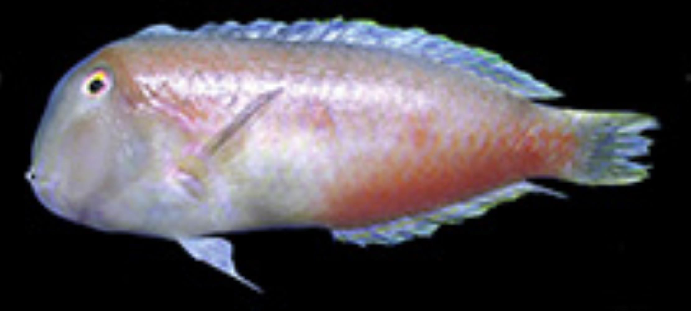 Shortfin Razorfish