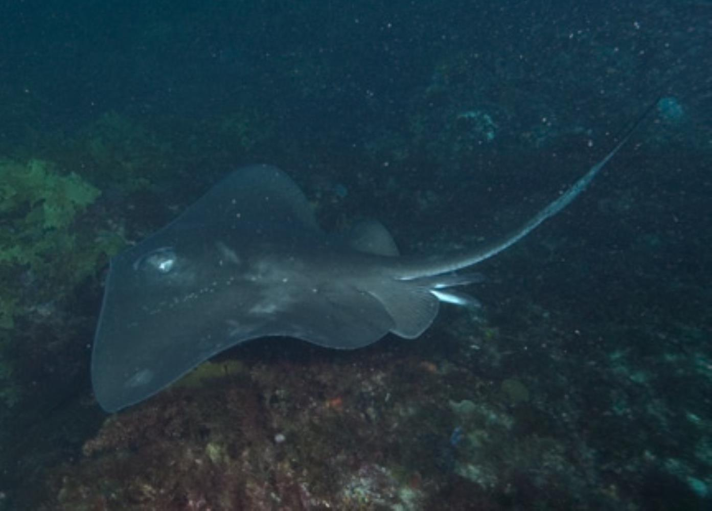 Shorttail stingray