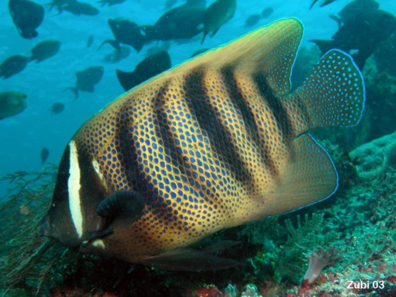 Sixbar Angelfish