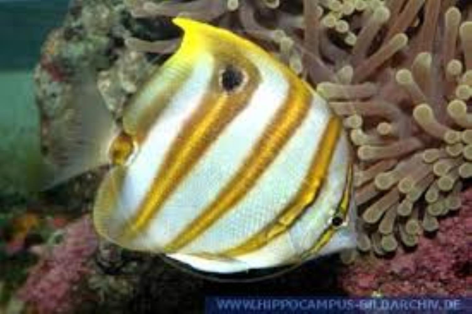 Sixspine Butterflyfish