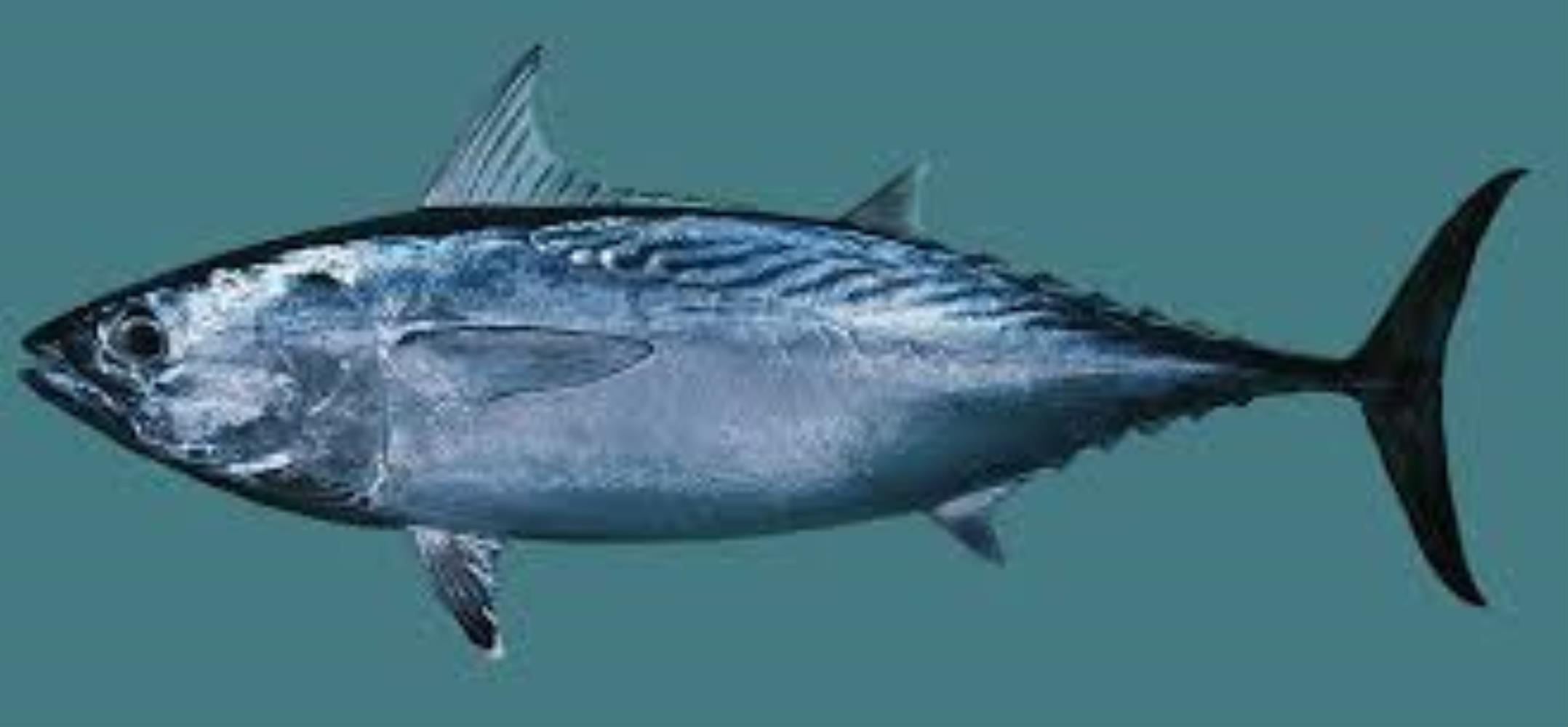 Slender Tuna