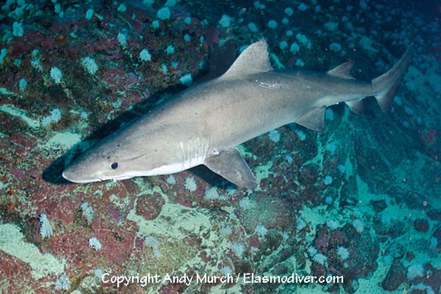 Smalltooth Sandtiger Shark
