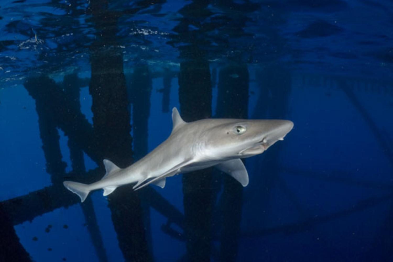 Smooth-hound shark