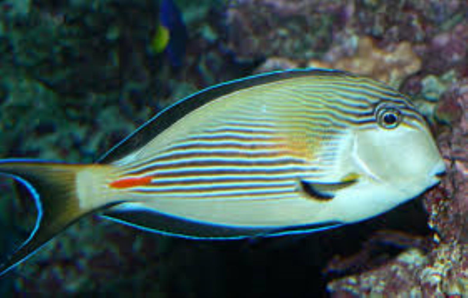 Sohal/ Arabian Surgeonfish