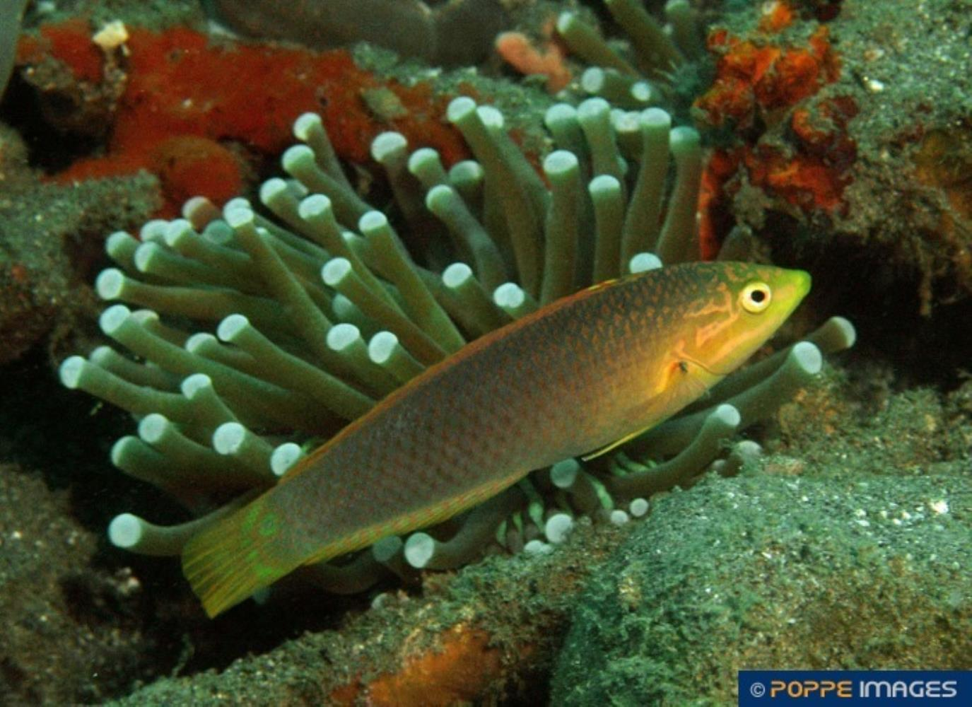 Solor/ Green Wrasse