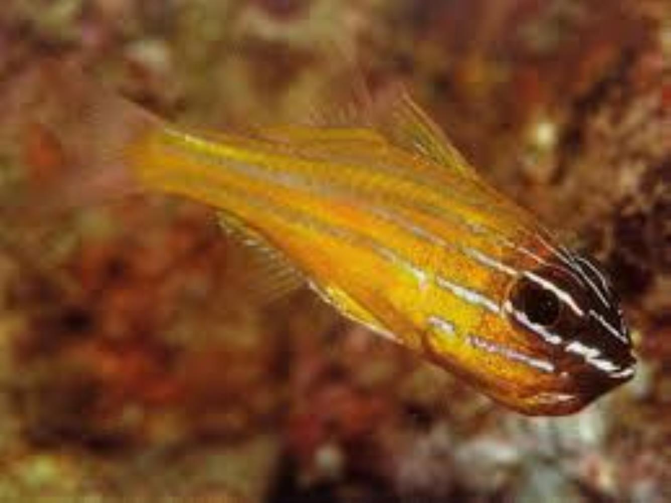 Southern Orange-lined Cardinalfish