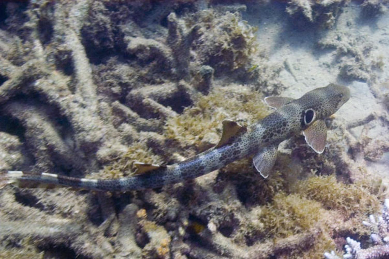 Speckled epaulette shark