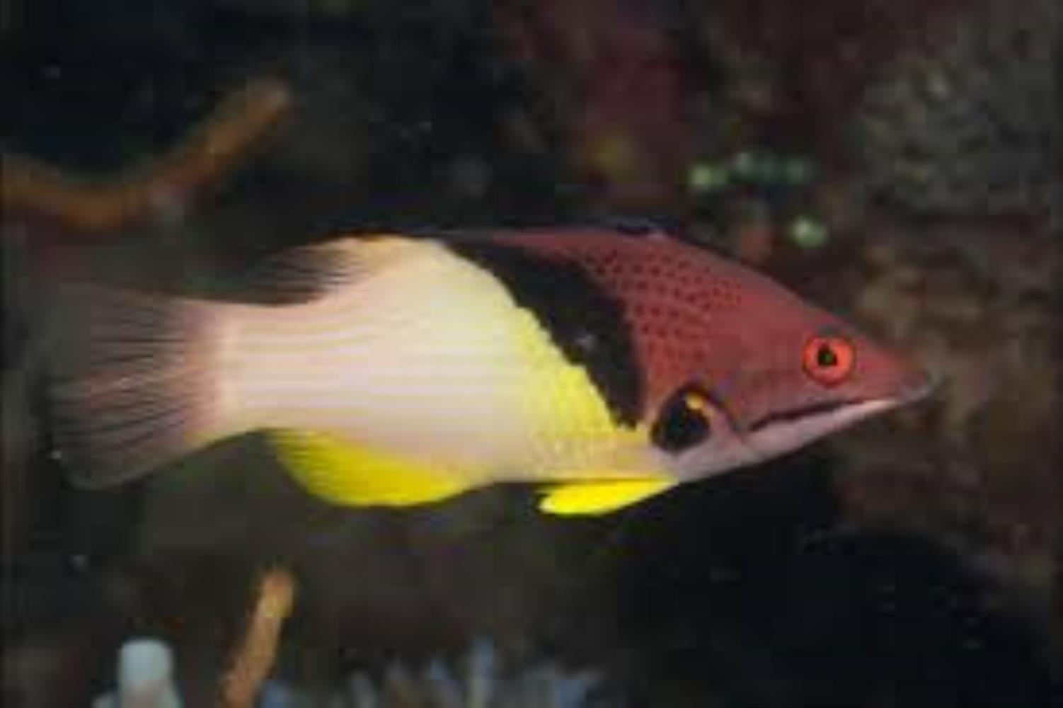 Split-level/ Blackbelt Hogfish