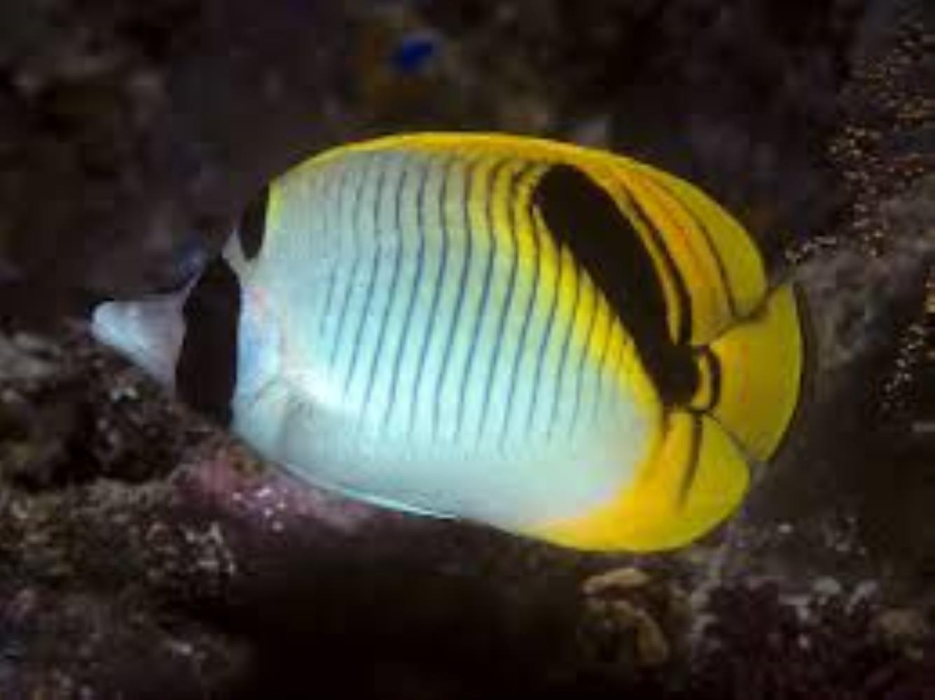 Spot-nape Butterflyfish