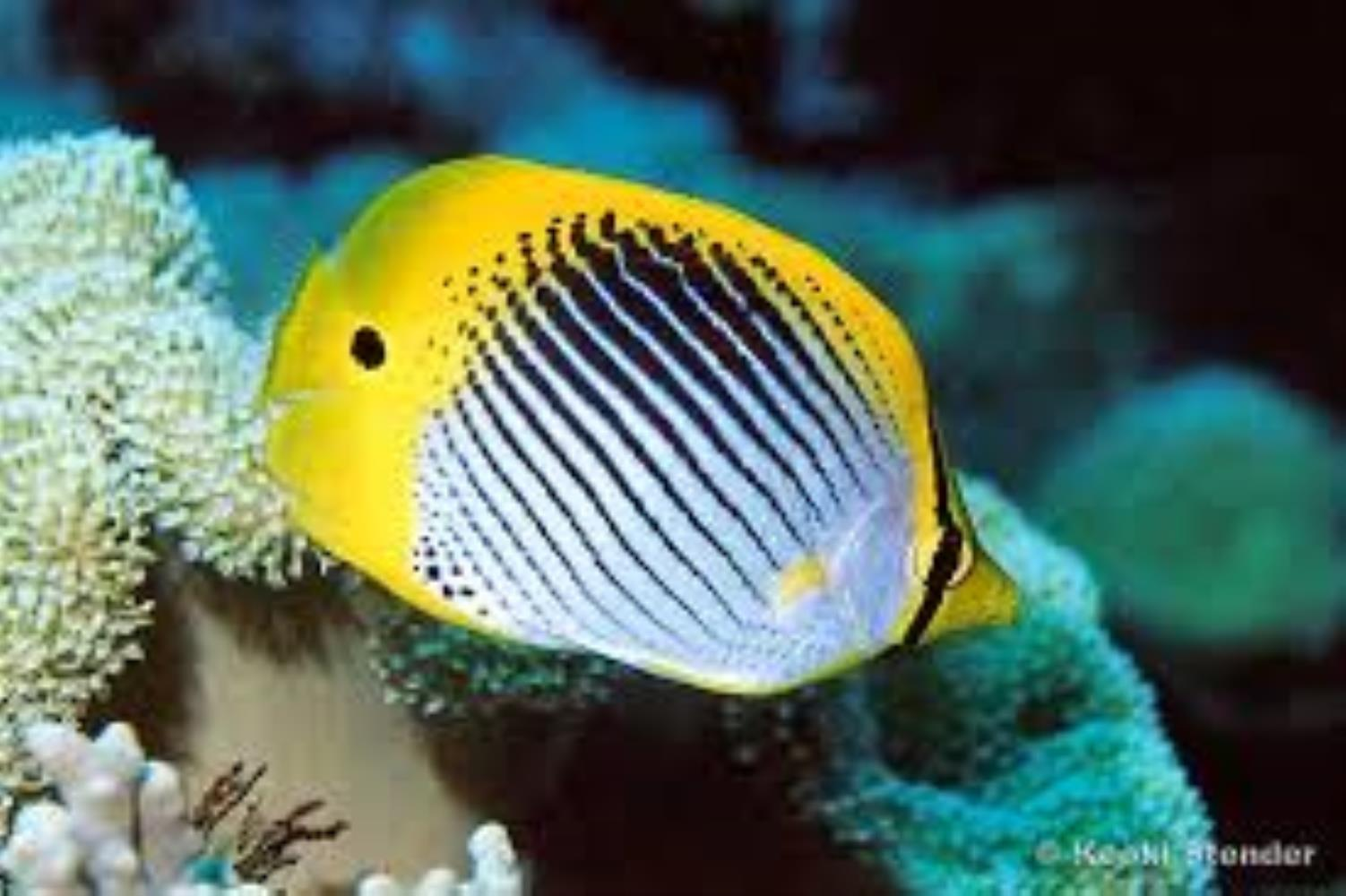 Spot-tail Butterflyfish