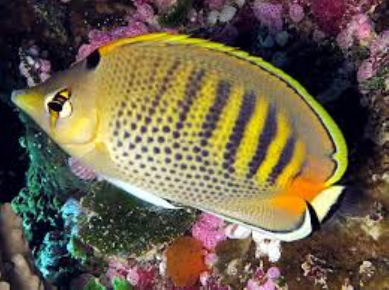 Spotband Butterflyfish