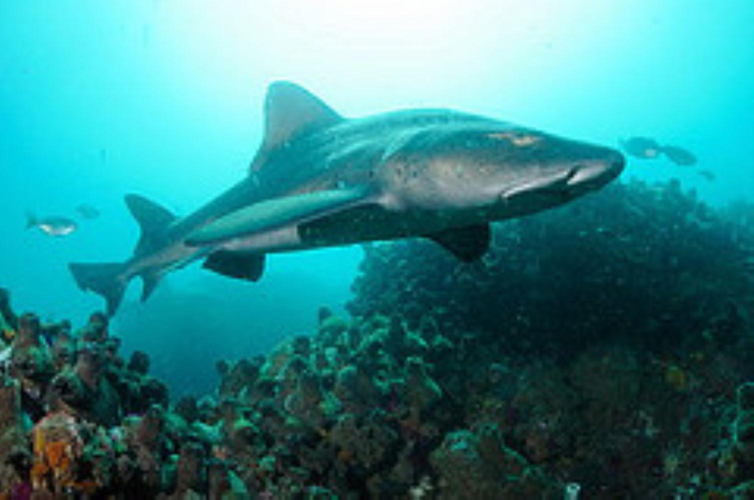 Spotted Gully Shark