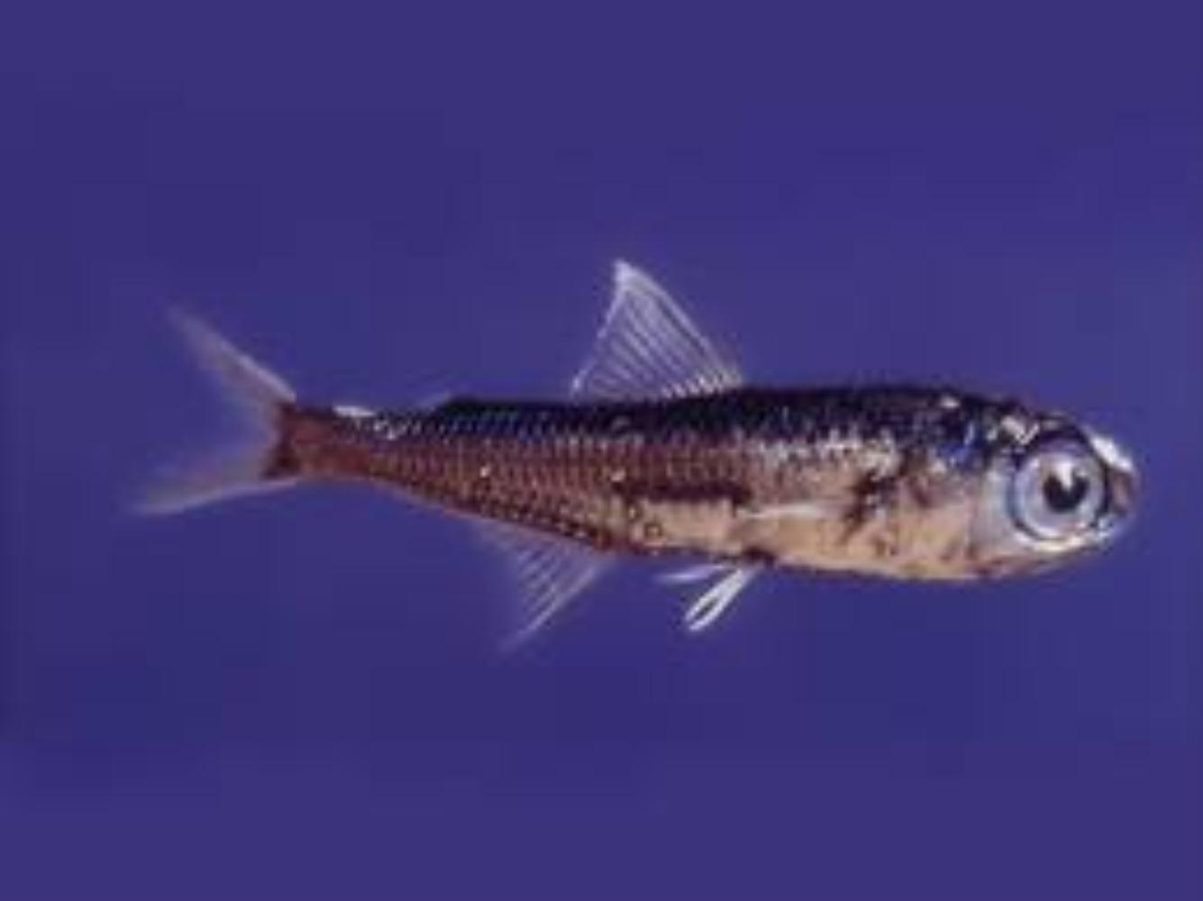 Spotted Lanternfish