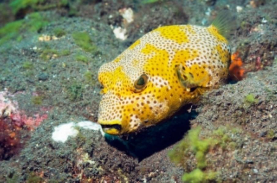 Star Pufferfish Information and Picture | Sea Animals