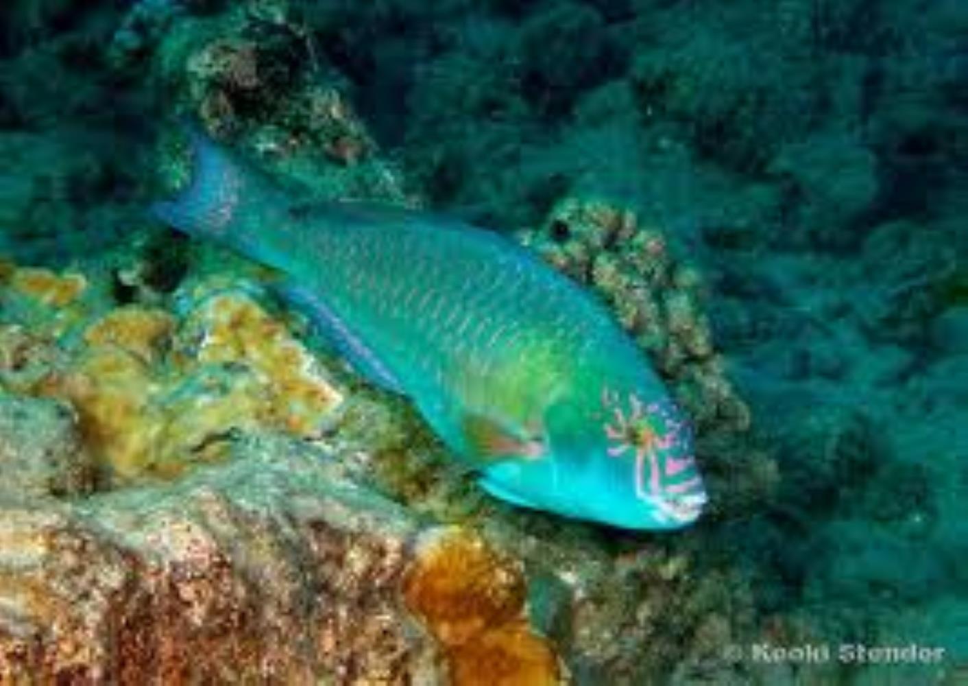 Stareye/ Caroline's Parrtofish