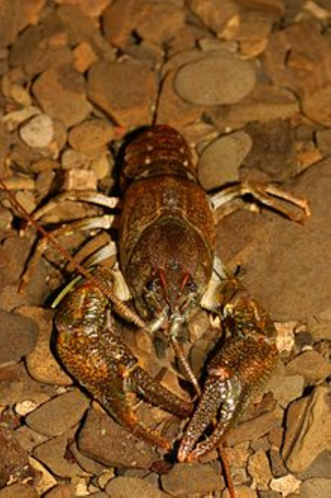 Stone Crayfish