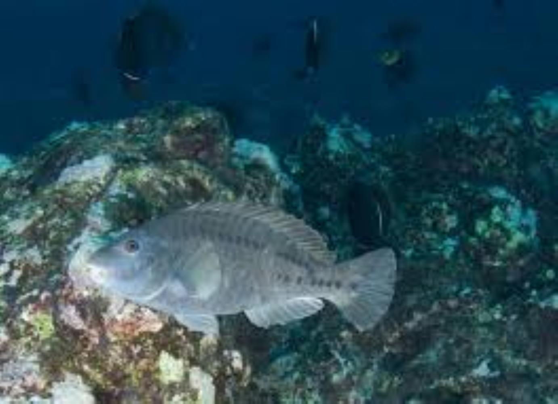 Strigate Parrotfish