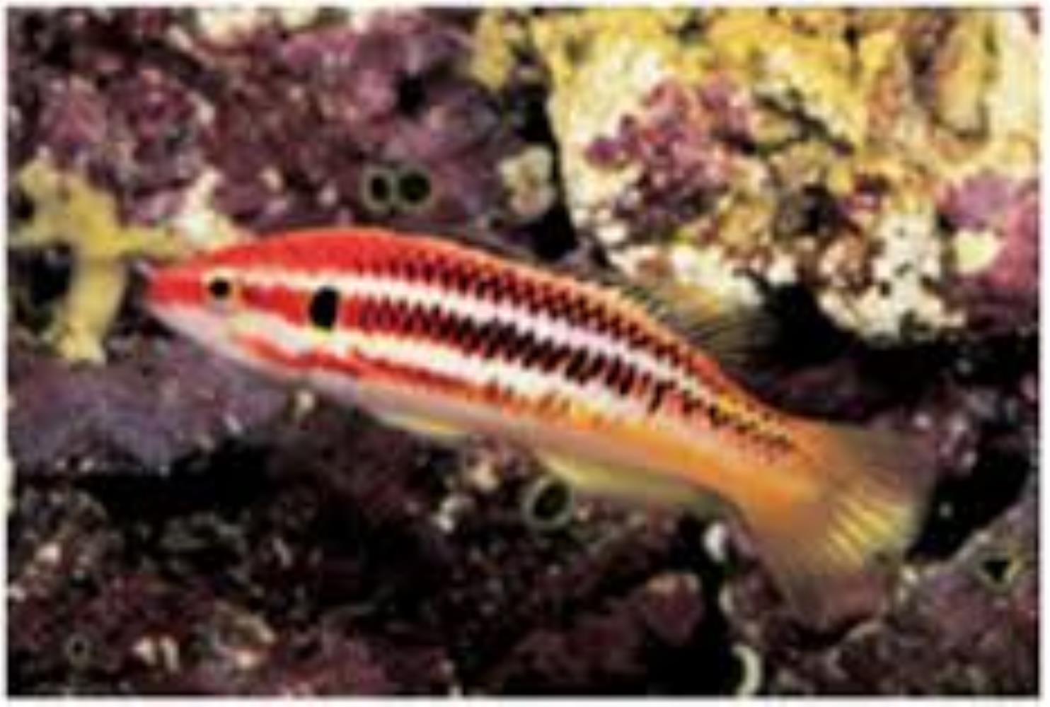 Striped Pigfish