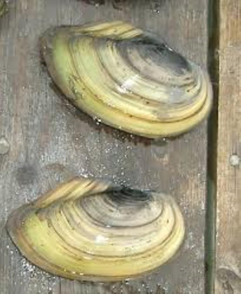 Swan Mussel