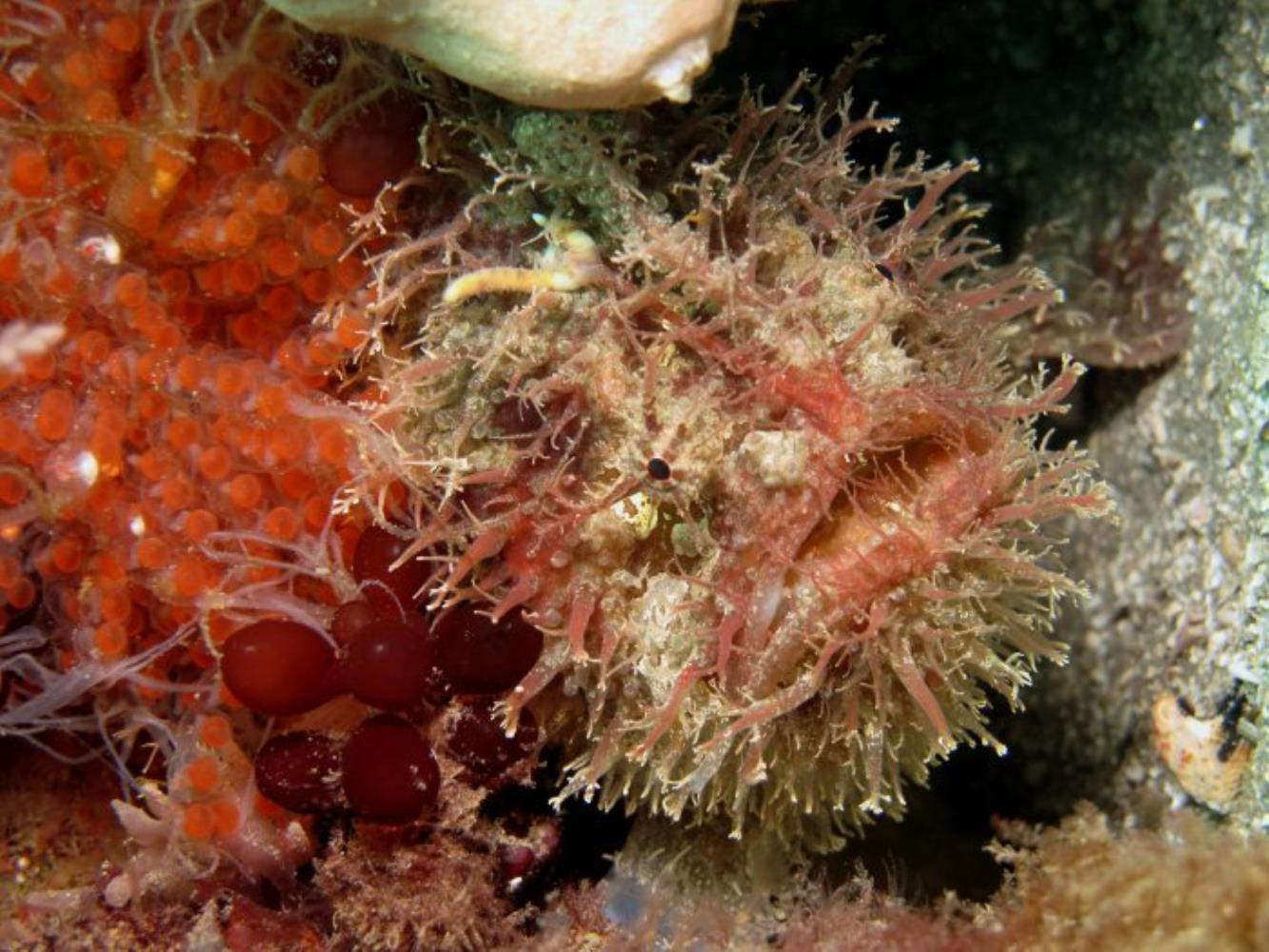 Tasseled Frogfish