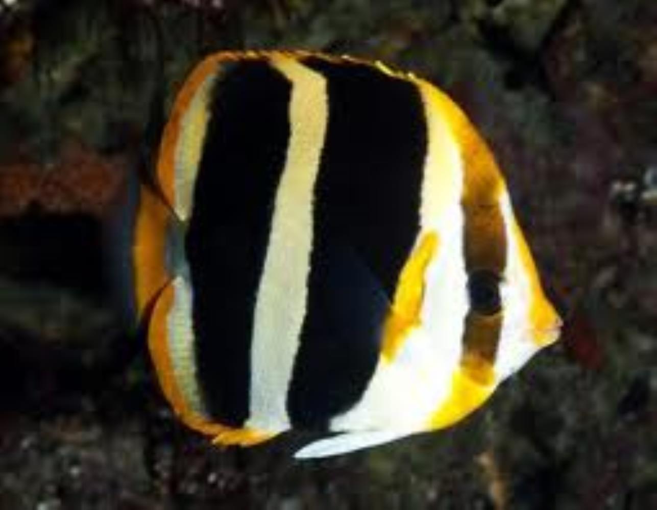 Three-striped Butterflyfish