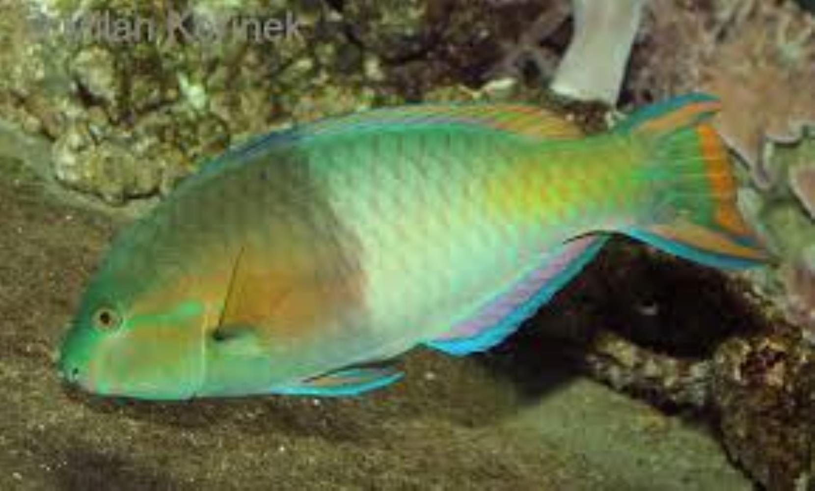 Tricolor Parrotfish