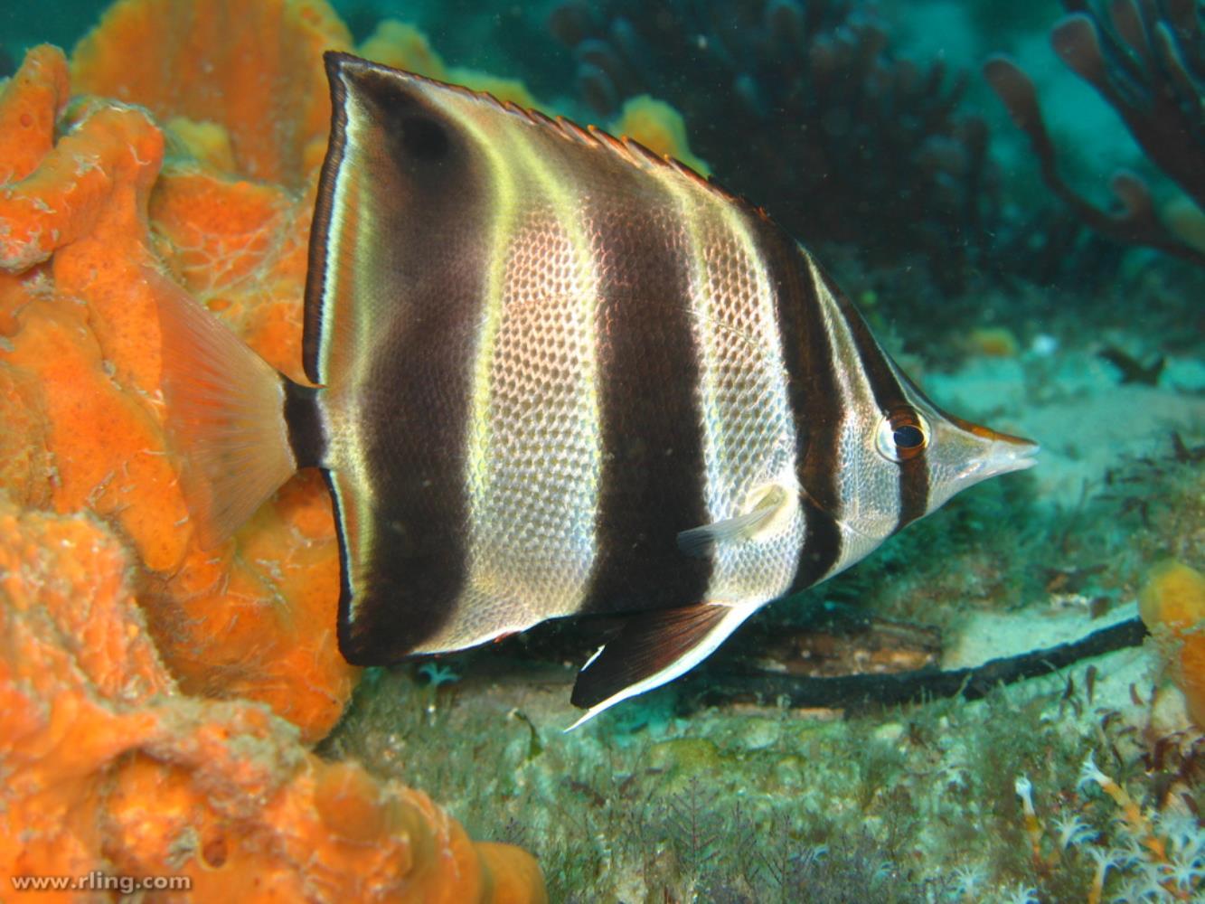 Truncate Coralfish