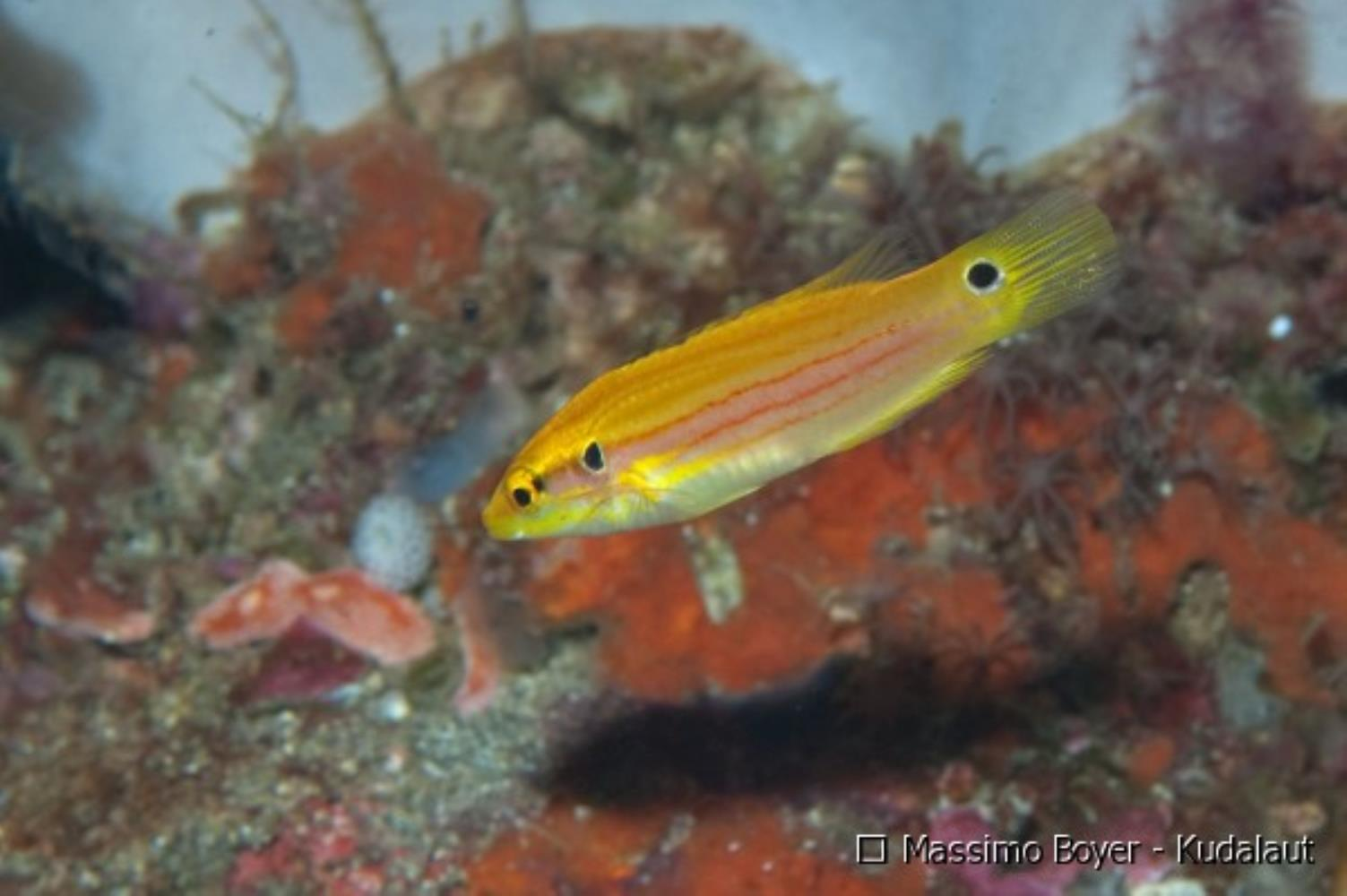 Twospot Hogfish