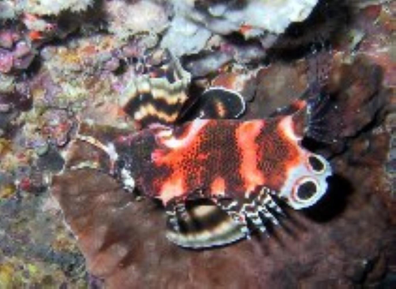Twospot Turkeyfish
