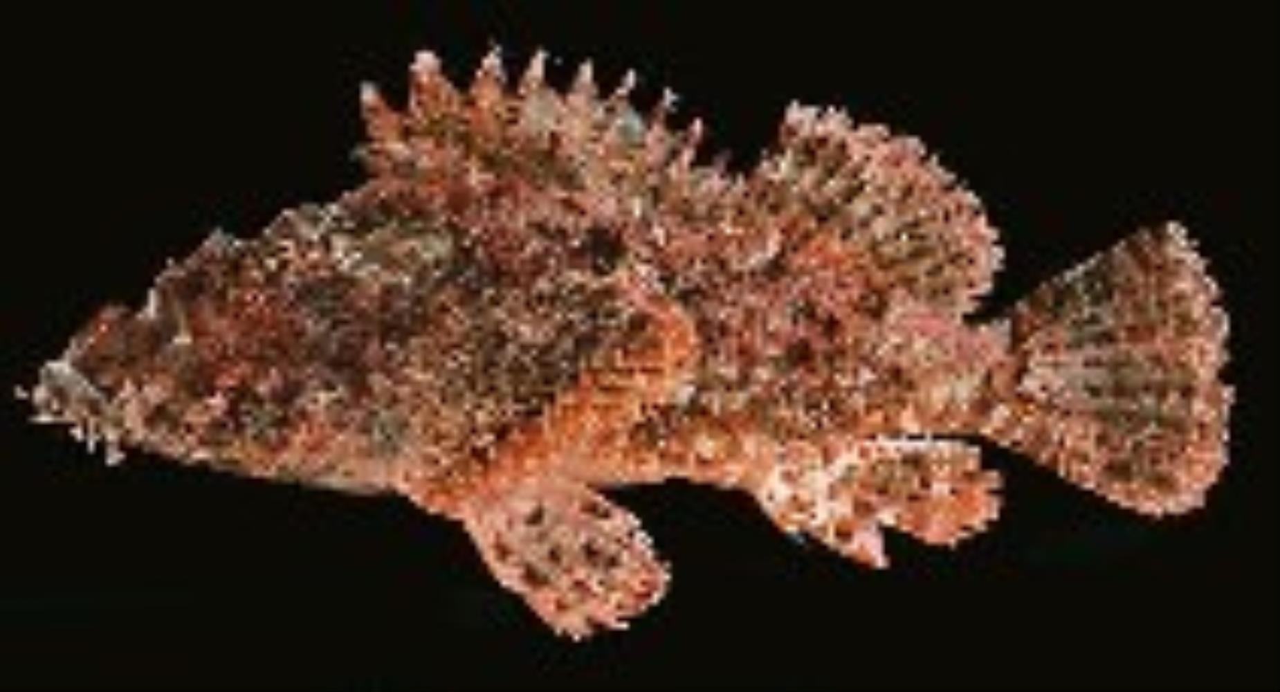 Weedy Stingfish