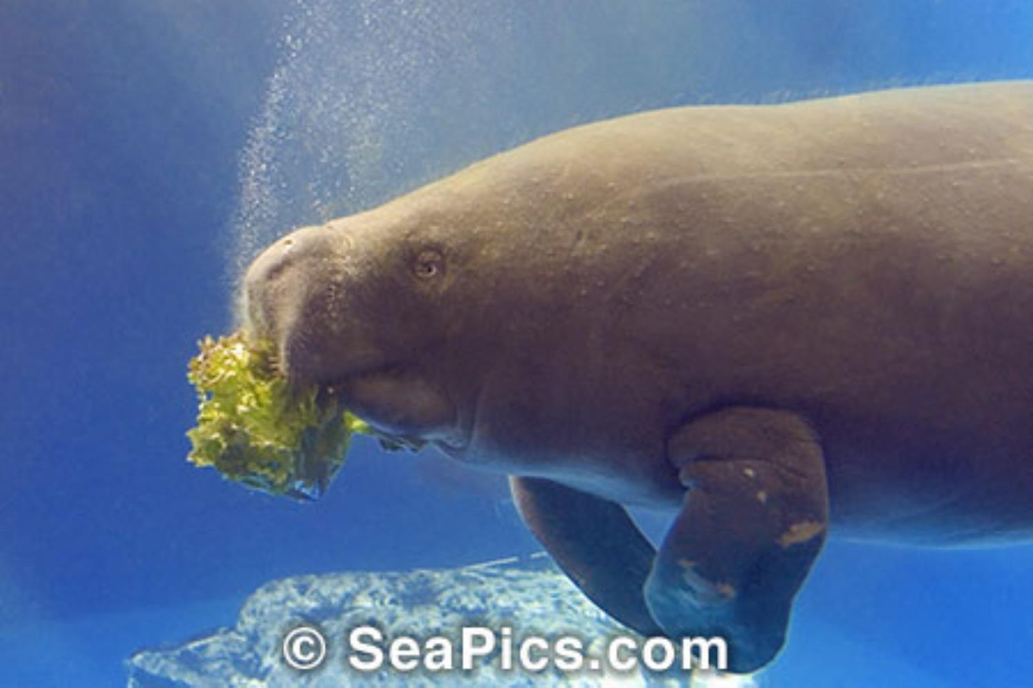 West African Manatee