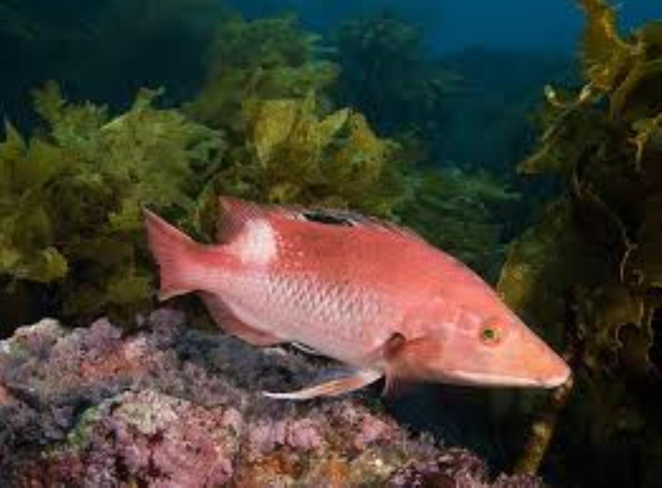 Western Pigfish