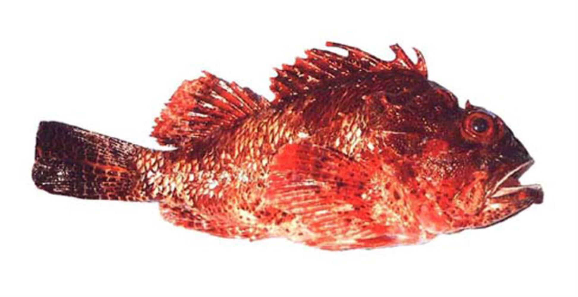 Western Red Scorpionfish