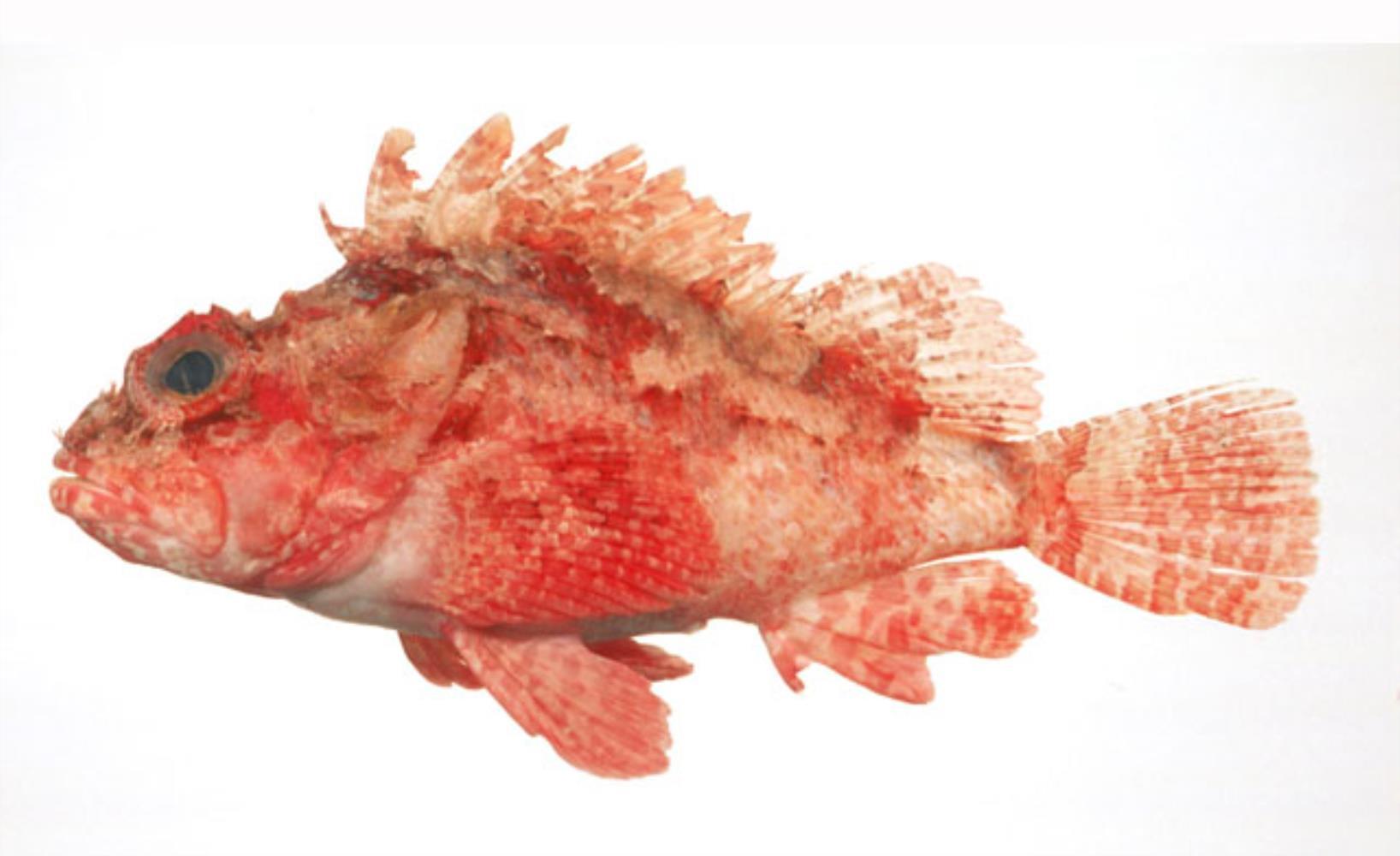Western Scorpionfish