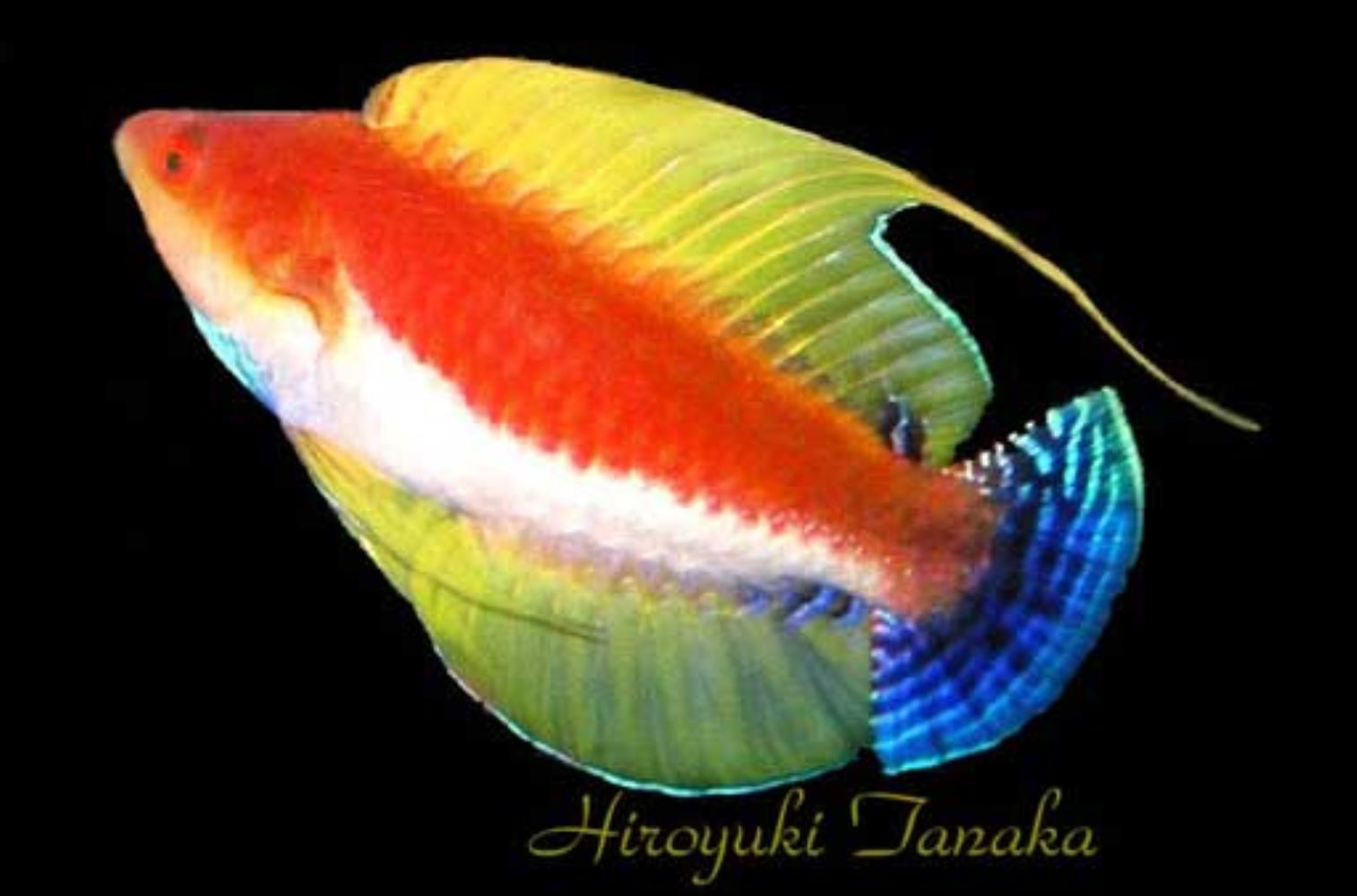 Whip-fin Wrasse