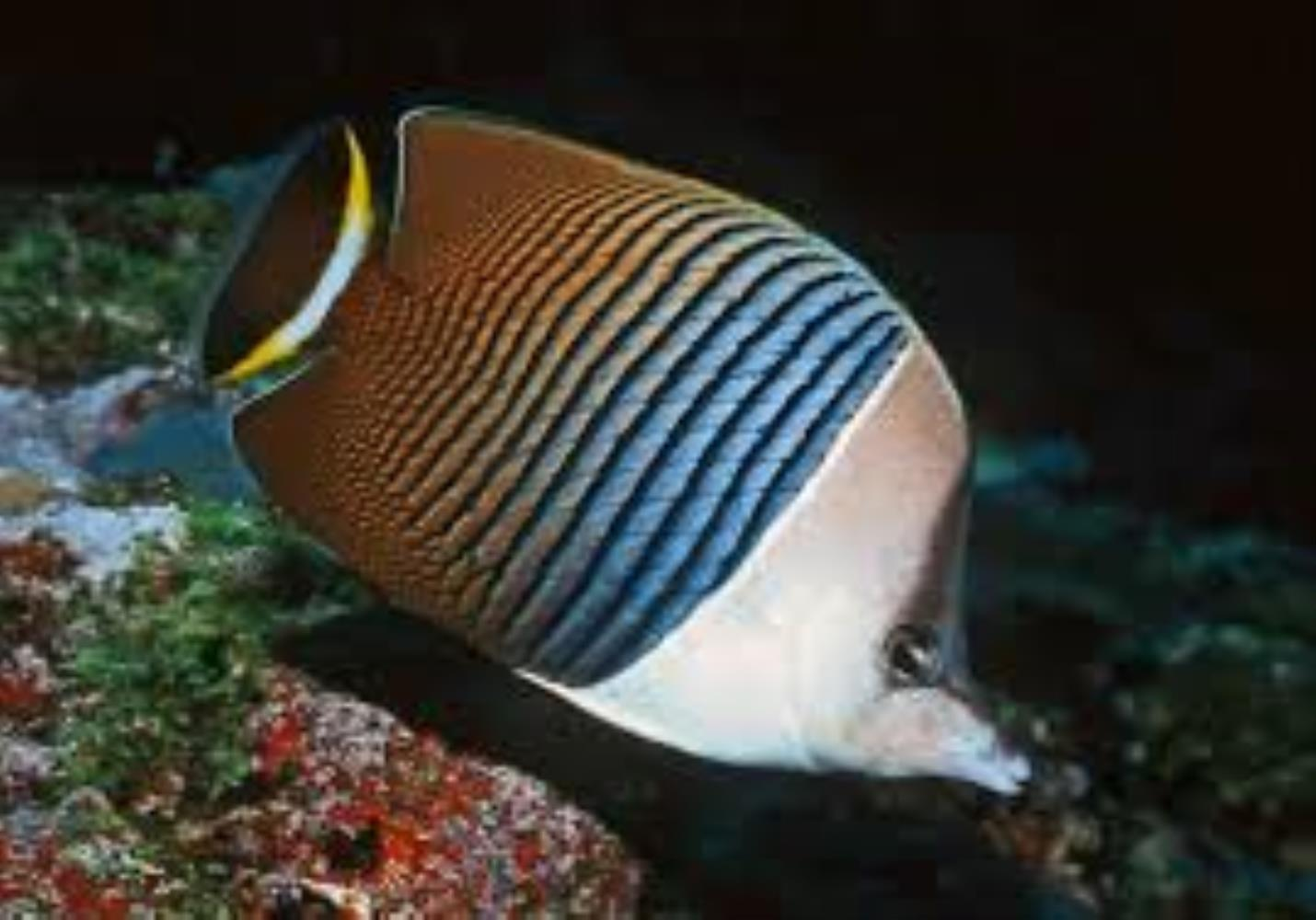 White-face Butterflyfish