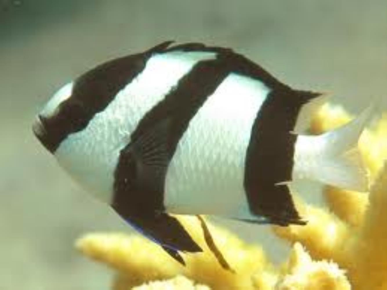 Whitetail/Humbug Dascyllus