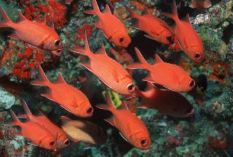 Whitetip Soldierfish