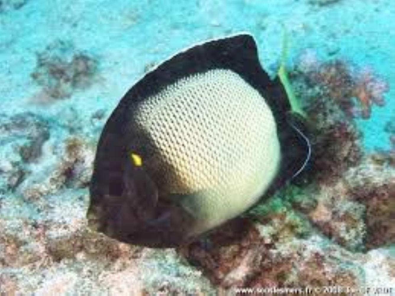 Yellow-ear Angelfish