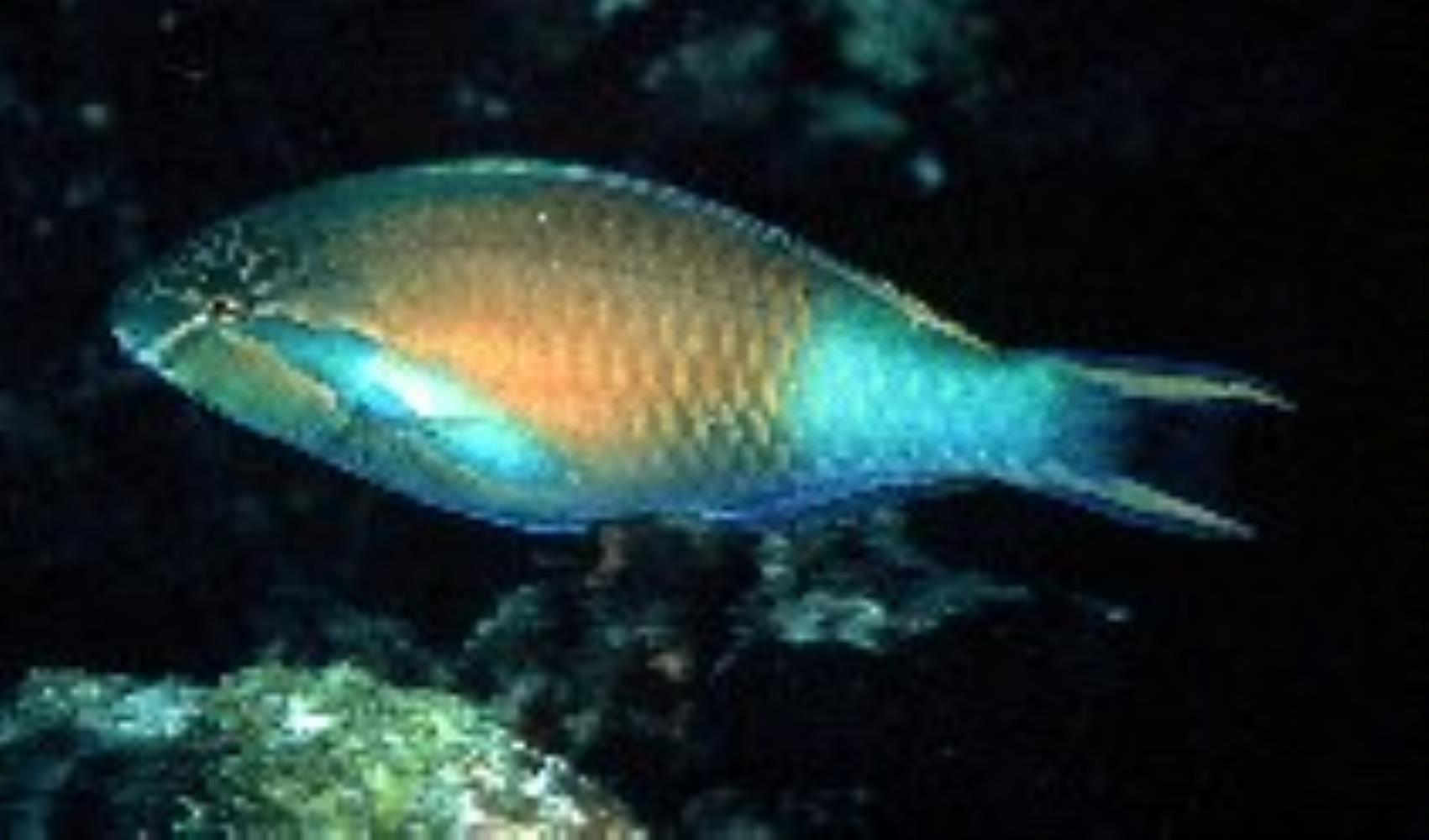 Yellow-tail Parrotfish