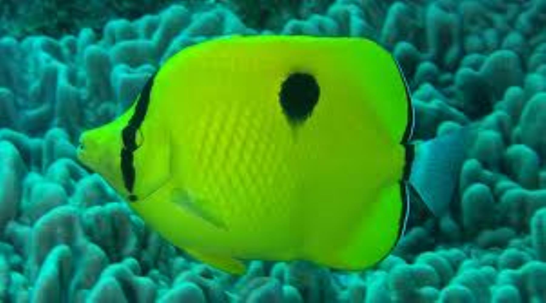 Yellow Teardrop Butterflyfish