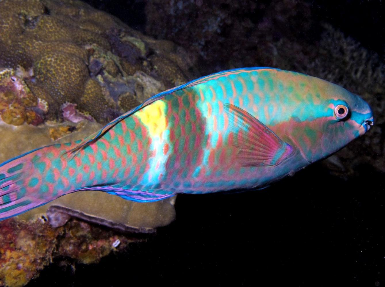 Yellowband parrotfish