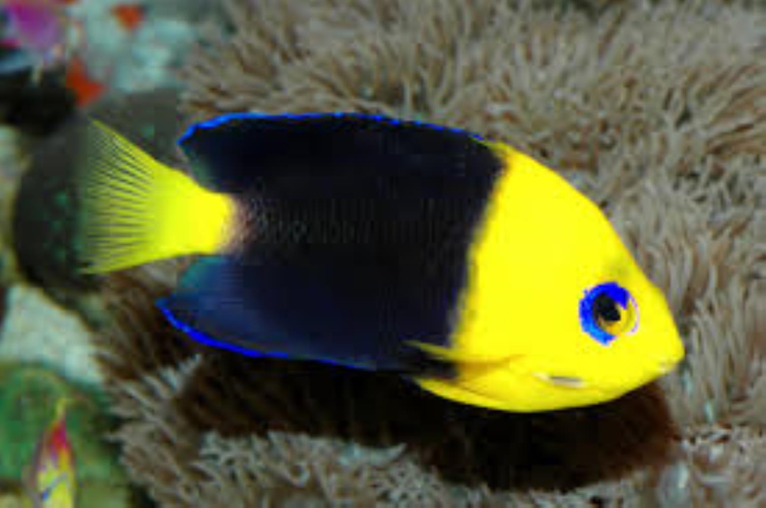 Yellowhead Angelfish