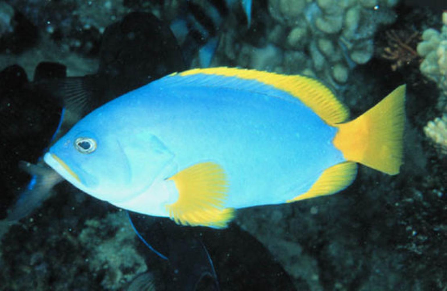 Yellowtail Rockcod