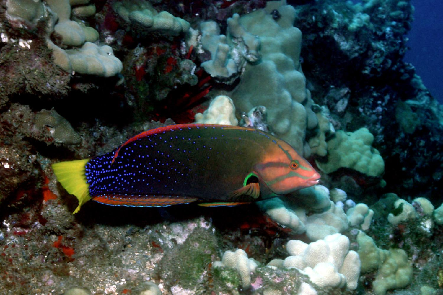 Yellowtail Wrasse